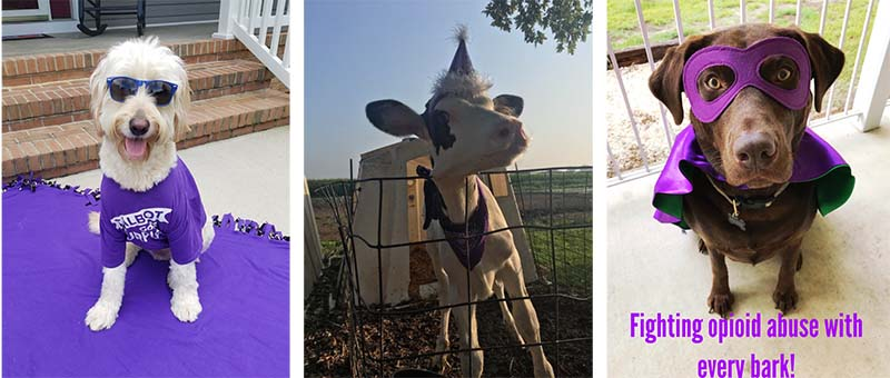 2 dogs and 1 cow dressed up in Purple to show their support against substance abuse.  One image also contains the words:  fighting opioid abuse with every bark!